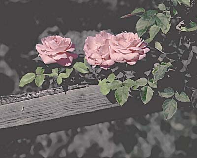 Roses on a Fence; Actual size=240 pixels wide