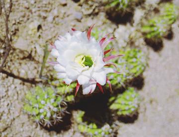 whitecactusflower.jpg